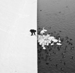 A Man Feeding Swans in the Snow (foto: Marcin Ryczek)